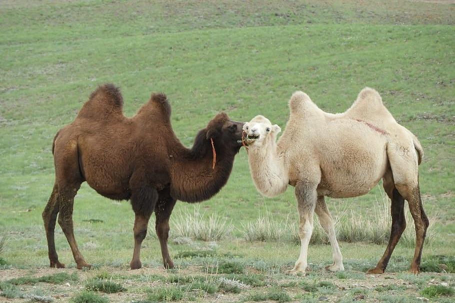 camel's star